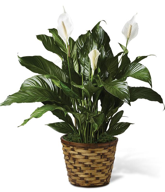 Send Flower on Classic Peace Lily   Sympathybouquets Net