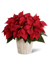 The FTD Red Poinsettia Basket