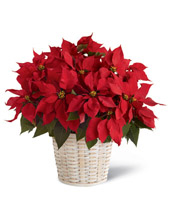 FTD Red Poinsettia Basket - Large